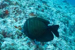 BD-150425-Maldives-8521-Zebrasoma-desjardinii-(Bennett.-1836)-[Ringed-tang].jpg